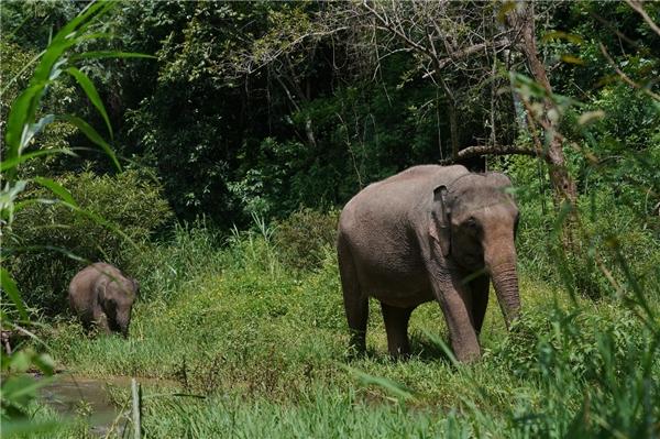 """从冲突到和谐,西双版纳如何做到亚洲象保护有""""数"""""""