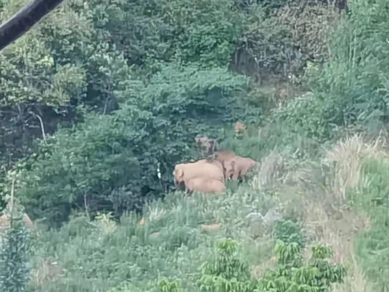 北上象群距昆明地界仅两三公里,预计今天下午进入晋宁区