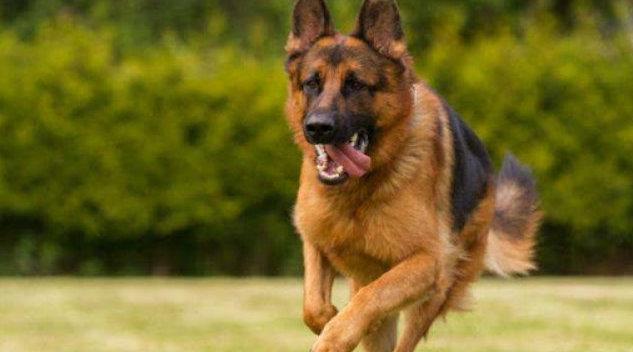 中国刑警学院竞售54只淘汰受训犬:含德牧 200元起